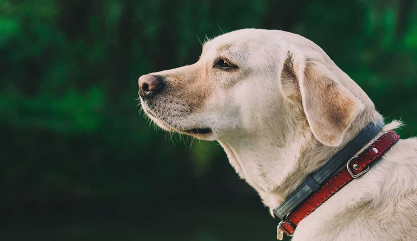 Guide-Dog-Blind